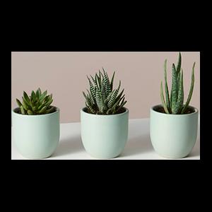 Succulent Mini Trio
